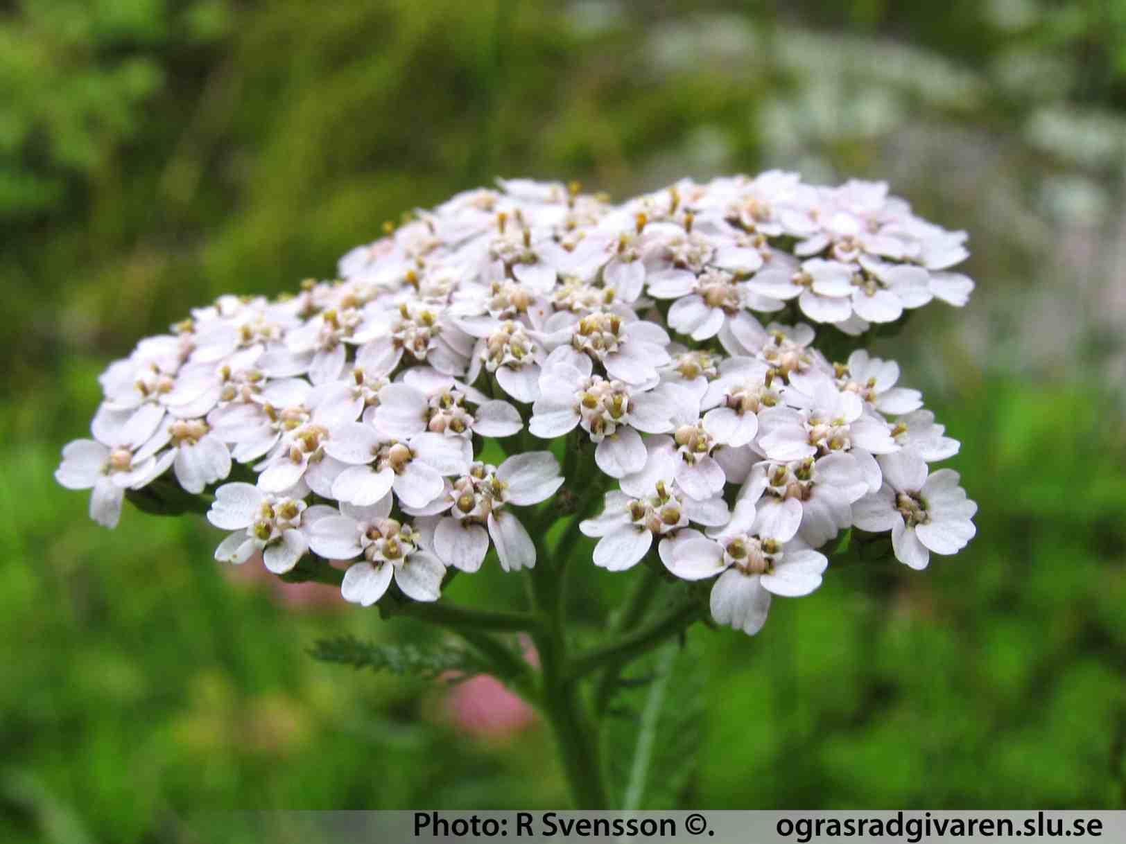 Rölleka ( Achillea millefolium ). Blomställning (små korgar i ...